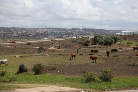 Cattle grazing in Port Elizabeth, South Africa