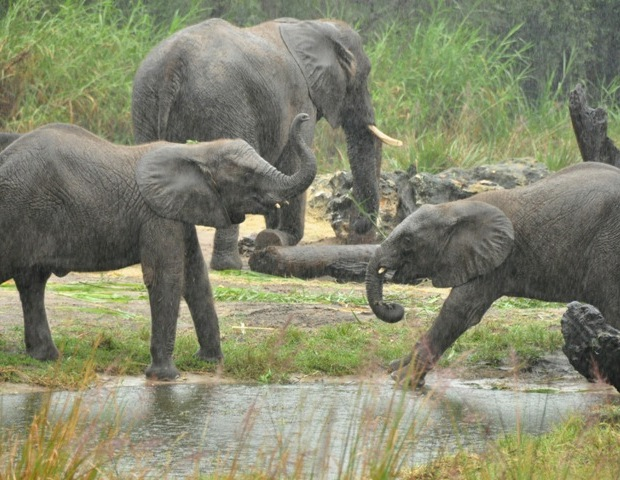 Elephants at Disney's Wild Africa Trek