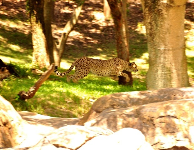 A cheetah at Disney's Wild Africa Trek
