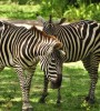 Zebras at Disney's Wild Africa Trek