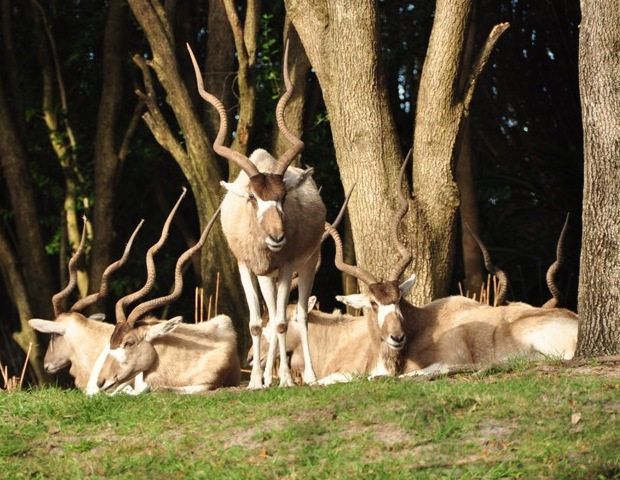 Addax antelope at Disney's Wild Africa Trek